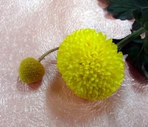 ピンポン菊とクラスぺディア
