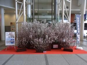 霞城セントラルアトリウムの啓翁桜