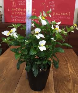 ハンカチの花 コンロンカ