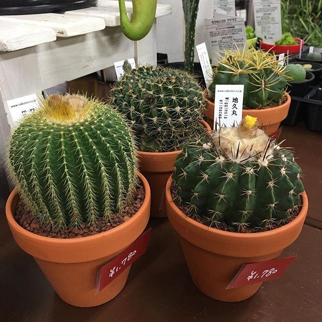 素焼き鉢植えのサボテン入荷いたしました。こちらのサボテンは4号サイズ。観葉植物代わりにも置ける、ちょっとした存在感があるサイズのサボテンです。#花の店ジョアン #サボテン#cactus