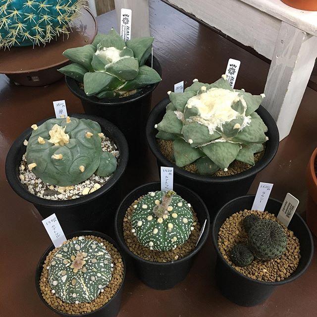久々にいろいろなサボテン入荷しました#花の店ジョアン#サボテン#cactus