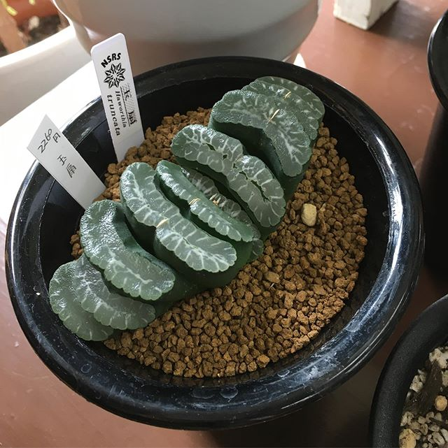 ハオルチアの玉扇と万象入荷いたしました!夏休みに向けてちょっと変わった植物を入荷していますよ^ - ^それにしてもチョキンと茎を切ったみたいな見た目だな〜。