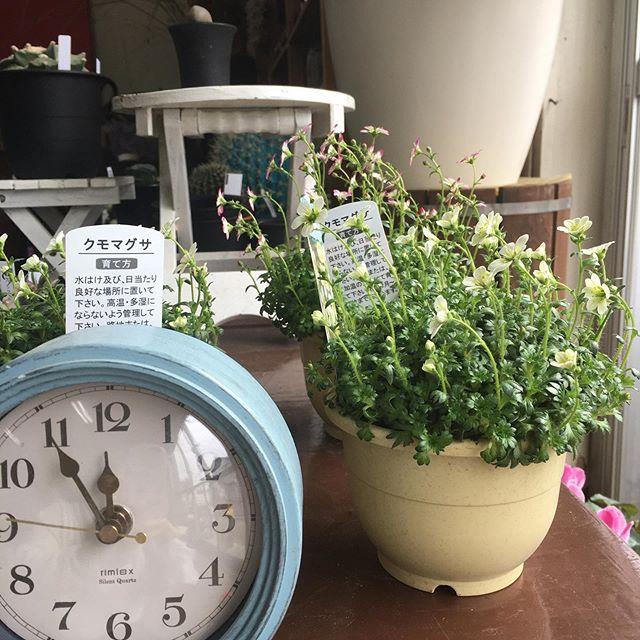 クモマグサの花の向きが変わっているような気がすると思い時計を置いて撮影。2時間後、やっぱり光の方を向いていた❣️気のせいじゃなかった!#花の店ジョアン#クモマグサ