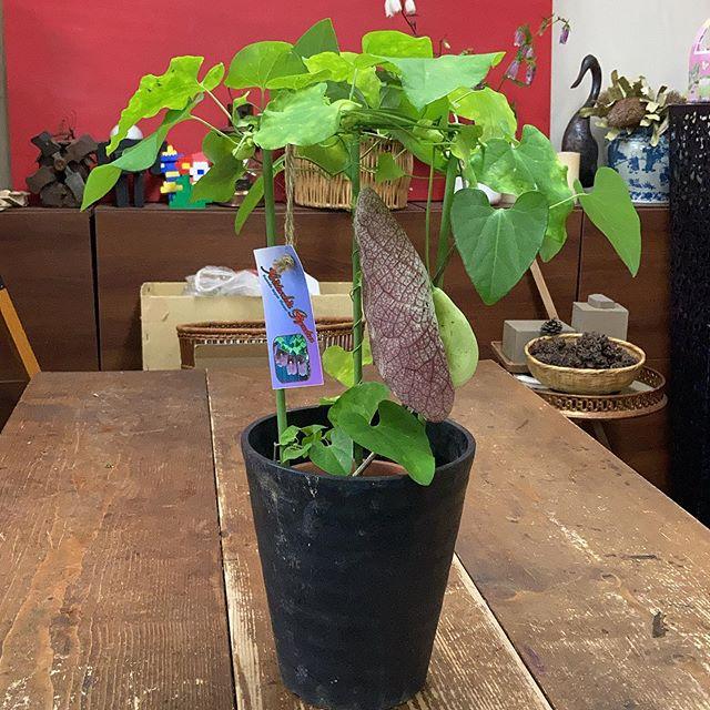 十何年かぶりに入荷しました。アリストロキア・ギガンティアです。大きな花が咲きます!ずっと探してました〜。最近店があまりにも地味なのでちょっとかわったものを入荷してみました。慌てて撮影したので植木鉢汚れたままだった#花の店ジョアン#アリストロキアギガンティア